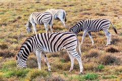 Zebras que comem a grama em Addo National Park, África do Sul fotografia de stock royalty free