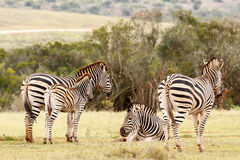 Zebras que estão e que encontram-se junto Foto de Stock