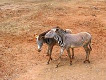 Zebras que falam a loja Imagens de Stock