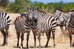 Zebras que levantam as cabeças junto em Serengeti, Tanzânia, África foto de stock