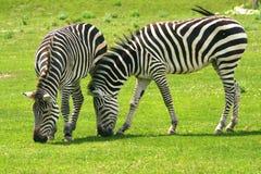 Zebras que pastam Imagens de Stock
