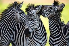 Zebras que socializam e que beijam Fotografia de Stock Royalty Free