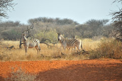 Zebras on red sand. At the Haak en Steek waterhole in the Mokala National Park of South Africa Royalty Free Stock Images