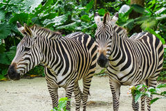 Zebras relaxing at the zoo Royalty Free Stock Photography