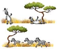 Zebras resting in the field Stock Photo