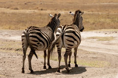 Zebras resting Stock Photo