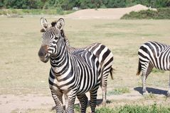 Zebras are resting in the wild Africa safari Stock Images