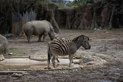 Zebras and a rhino hanging out royalty free stock image