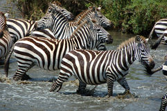 Zebras in the river. Zebras in a river of Serengeti National Park, Tanzania Royalty Free Stock Photos