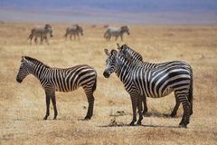Zebras hang together in the Ngorongoro Crater of Tanzania. royalty free stock photo