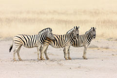 Zebras in a row. Three zebra's standing in a row; Etosha; Equus burchell's Royalty Free Stock Photography