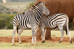 Zebras rubbing each others backs. At the dam royalty free stock image