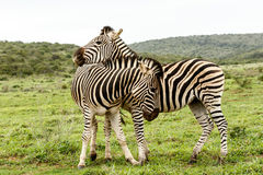 Zebras rubbing shoulders and showing affection Stock Image