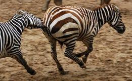Zebras Running Imagens de Stock Royalty Free