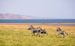 Zebras running across the plains in Bumi National Park Royalty Free Stock Photography