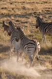 Zebras Running Away in Savannah of Etosha National Park, Namibia Stock Photo