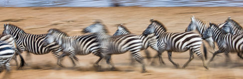 Zebras are running in the dust in motion. Kenya. Tanzania. National Park. Serengeti. Masai Mara. Stock Photo