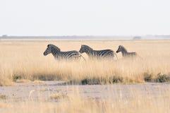 Zebras running at Etosha Pan, Namibia Stock Photography
