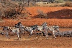 Zebras running Stock Image