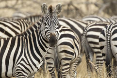 Zebras. Running over the Masai Mara stock photo