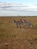 Zebras running Stock Images