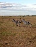 Zebras running stock images