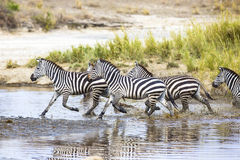 Zebras runs in the water Royalty Free Stock Photography