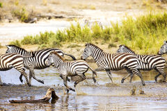 Zebras runs in the water Stock Images
