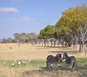 Zebras in Südafrika Stockfoto
