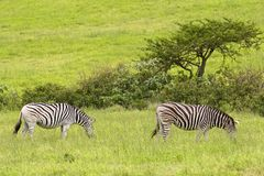 Zebras in safari park, South Africa Stock Images