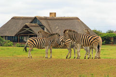 Zebras in safari park, South Africa. Zebras in Tala Game reserve, South Africa Stock Photo
