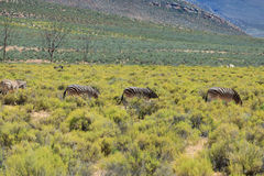 Zebras in safari in South Africa Royalty Free Stock Image