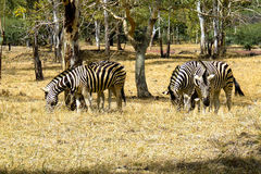 Zebras on the safari, in the wild. Zebras on the safari in Casela, Mauritius Royalty Free Stock Photo
