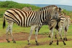 Zebras in safaripark, Zuid-Afrika Royalty-vrije Stock Fotografie