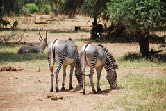 Zebras in Samburu National Reserve Royalty Free Stock Image
