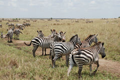 Zebras in Samburu National Reserve Stock Photography
