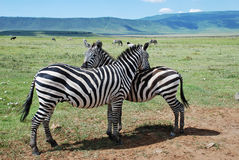 Zebras in Samburu National Reserve Stock Image