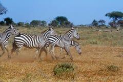Zebras in Savana Royalty Free Stock Images