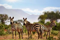 Zebras in savana Stock Photo