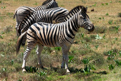 Zebras in savanna Royalty Free Stock Photo