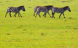 Zebras  Royalty Free Stock Image