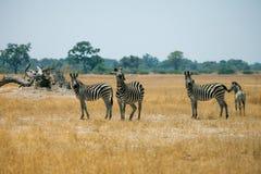 Zebras. In savanna of botswana Stock Images