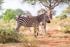 Zebras on savanna, Kenya, East Africa Royalty Free Stock Photos
