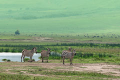 Zebras in savanna Stock Images