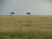 Zebras on the savanna Royalty Free Stock Image