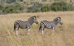 Zebras in the savanna Stock Images