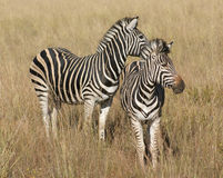 Zebras in the savanna Royalty Free Stock Photo