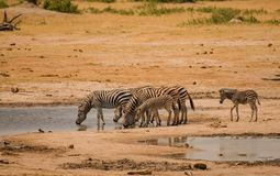 Zebras in the savanna of in Zimbabwe, South Africa stock images