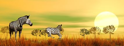 Zebras in the savannah. By beautiful sunset Stock Images