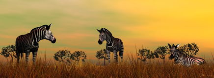 Zebras in the savannah. By beautiful sunset Royalty Free Stock Photo